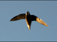 White-Throated Needletail image