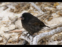 Common Cactus Finch image