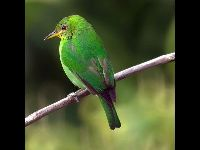 Green Honeycreeper image
