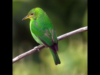 Tanager  -  Green Honeycreeper