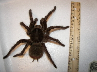 Goliath Birdeater image