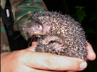 Greater Hedgehog Tenrec image