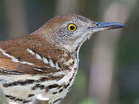 Brown Thrasher image