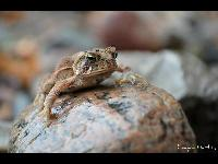 American Toad image