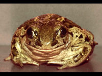 Common Spadefoot image