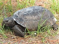 Gopher Tortoise image