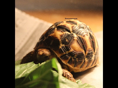 Tortoise  -  Indian Star Tortoise