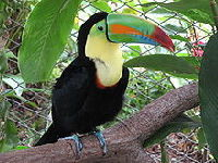 Toucan image