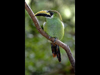 Emerald Toucanet image