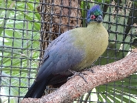 Purple-crested Turaco image