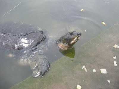 Turtle  -  Black Softshell Turtle