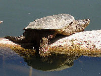 Common Snapping Turtle image