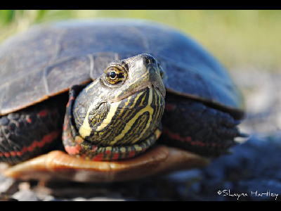 Turtle  -  Painted Turtle