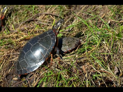 turtle/turtle_Painted_Turtle