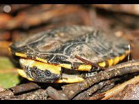 Twist-necked Turtle image