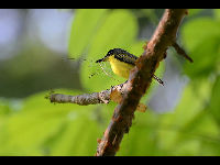Common Tody-Flycatcher image
