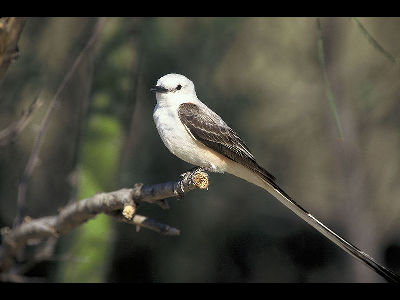 Tyrant Flycatcher  -  Scissor-tailed Flycatcher