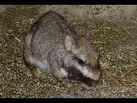 Plains Viscacha image