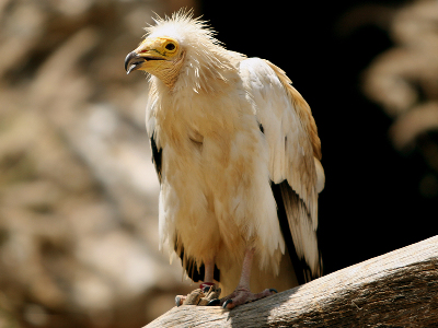 Vulture  -  Egyptian Vulture
