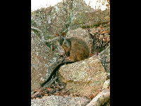 Brush-tailed Rock Wallaby image