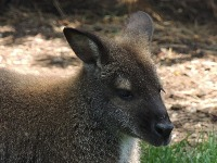 Red-necked Wallaby image