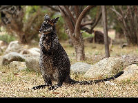 Swamp Wallaby image