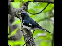 Black-throated Blue Warbler image
