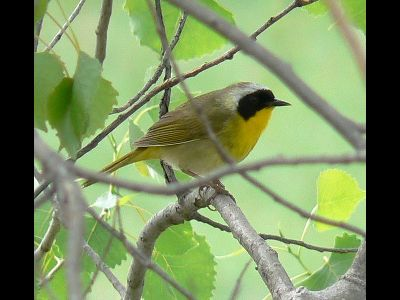 Warbler  -  Common Yellowthroat