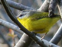 Grey-hooded Warbler image