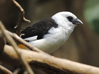 White-headed Buffalo Weaver image