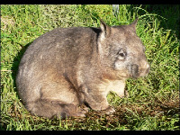 Northern Hairy-nosed Wombat image