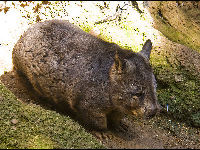 Southern Hairy-nosed Wombat image