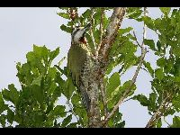 Cuban Green Woodpecker image