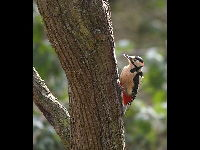 Great Spotted Woodpecker image