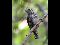 White-Barred Piculet image