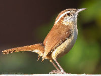 Carolina Wren image