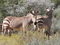 Mountain Zebra image
