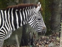 Plains Zebra image